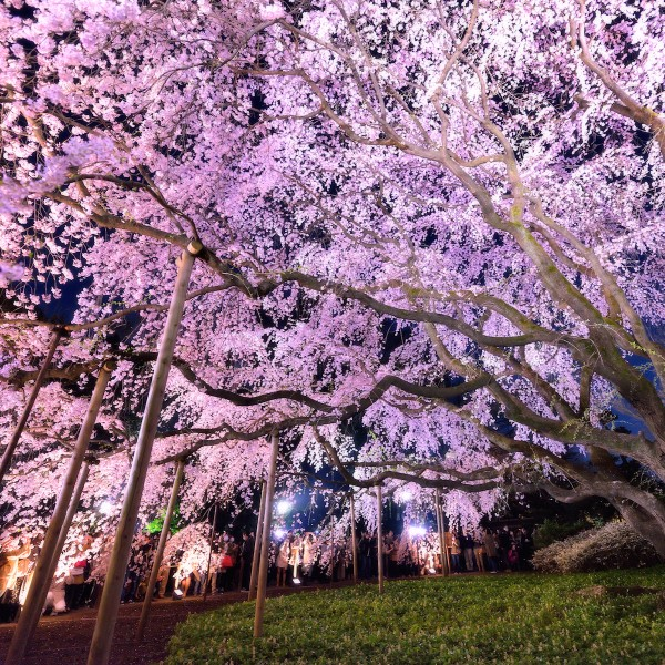 Kleurrijk Japan: het Cherry Blossom Festival