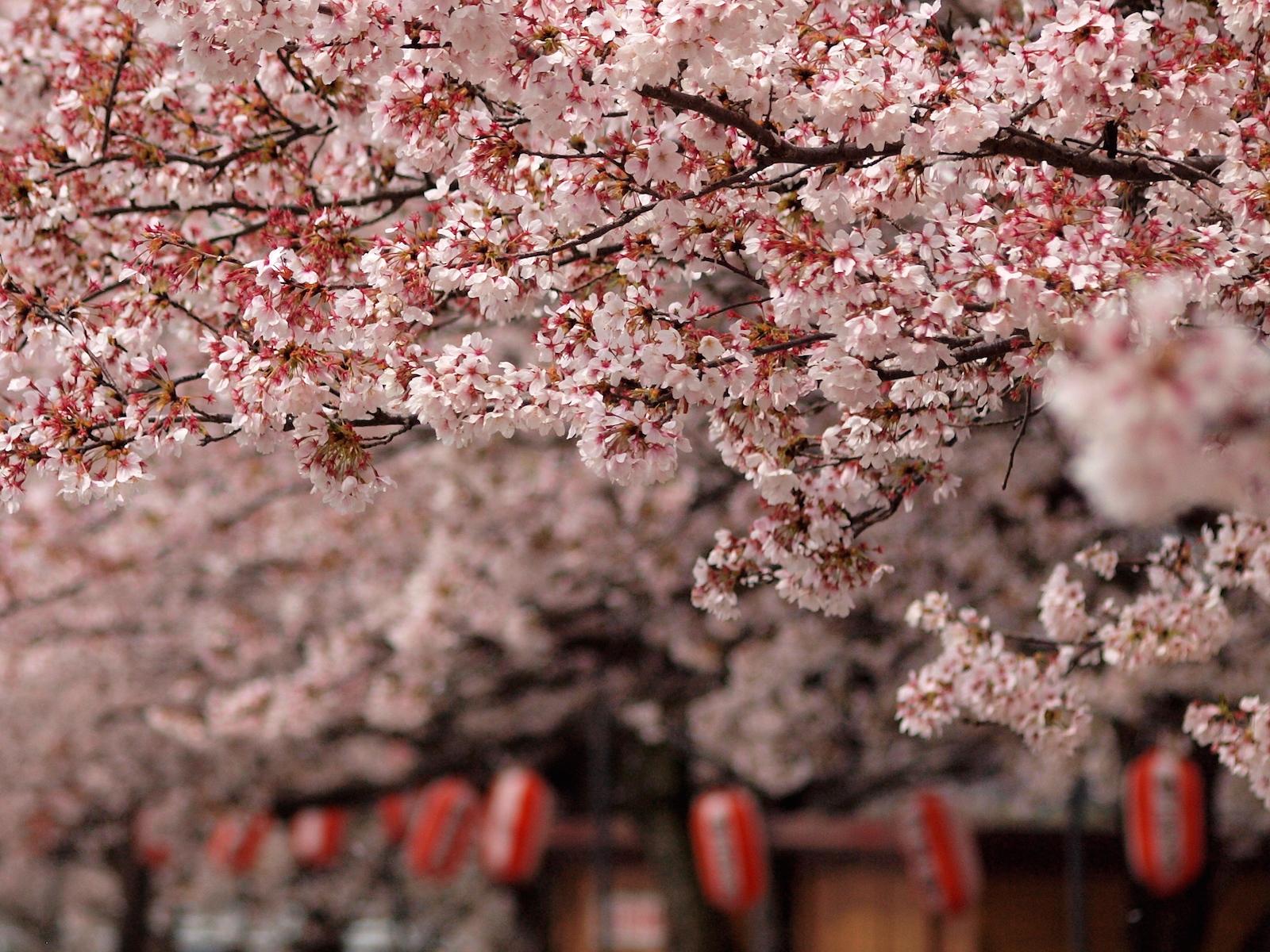 Cherry Blosson Festival