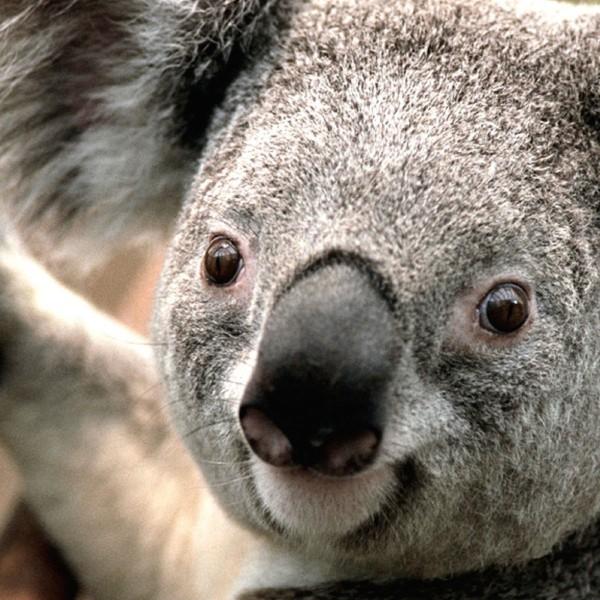 Koala's spotten en steunen in Port Macquarie