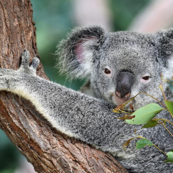Koala's spotten en steunen in Port Macquarie