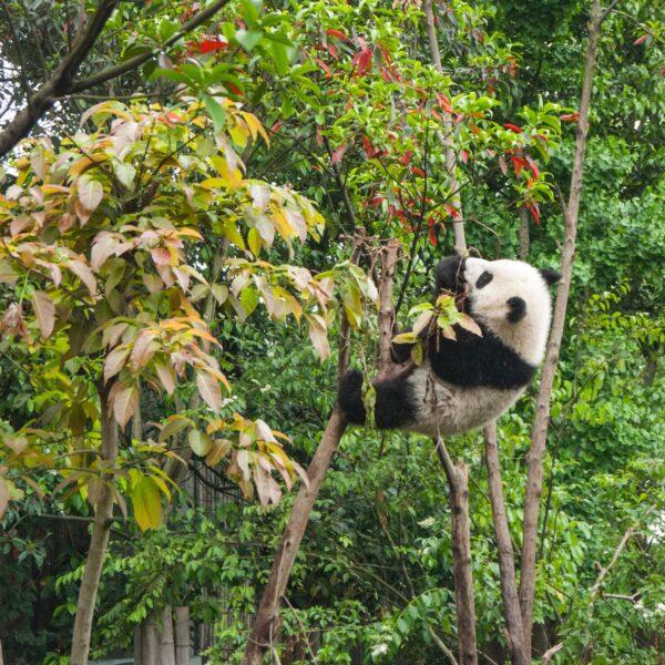 Een indrukwekkende kennismaking met Chengdu