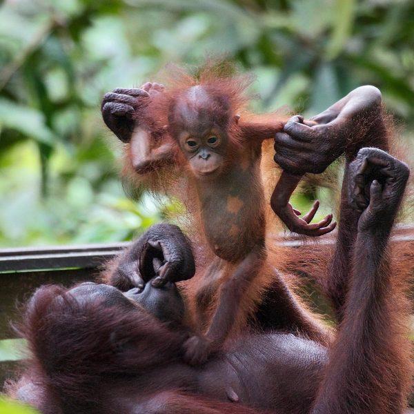 Oog in oog met orang-oetans op Borneo