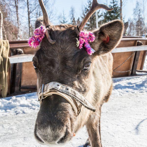 Rauw en ongerept: op pad in magisch mooi Fins Lapland